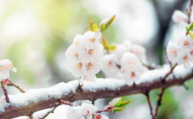 Zaradi zgodnjega cvetenja so v največji nevarnosti marelice in breskve. FOTO: Shutterstock