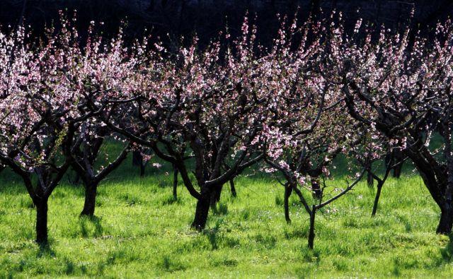 Na Agenciji RS za okolje opozarjajo, da bi mraz v tem tednu lahko prizadel nasade breskev, ki cvetijo po vsej državi, pa tudi zgodnejše sorte češenj in plodove marelic, ki jim je uspelo preživeti prvo pozebo. FOTO: Igor Modic/Delo