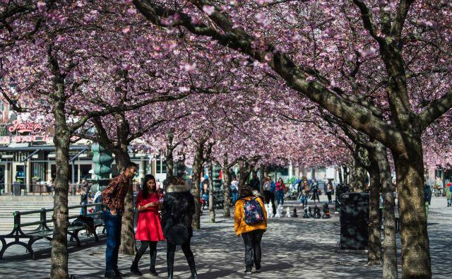 Ta konec tedna se je veliko ljudi sprehajalo po Stockhlomu in obiskalo tudi park Kungstradgarden, kjer ravno cvetijo češnje. FOTO: Jonathan Nackstrand/AFP
