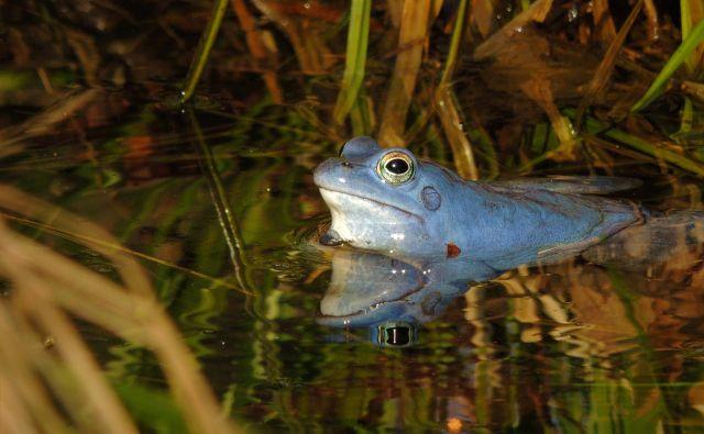 Plavček, žabji samec, ki samo za dva dni v letu postane moder. Foto Matija Mlakar Medved