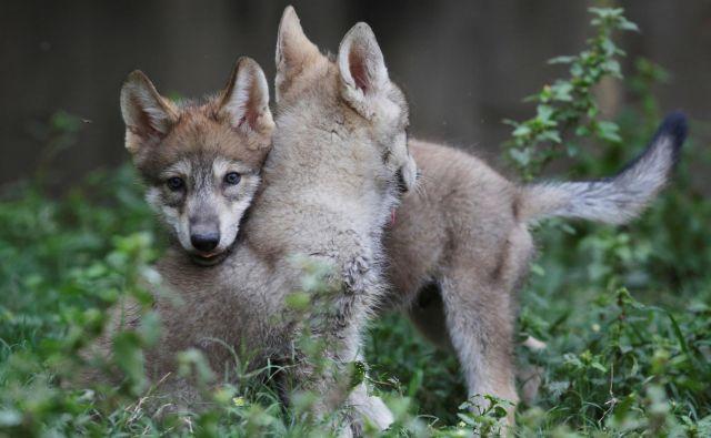 Zaradi odstrela 30 volkov bi volčja populacija lahko razpadla, opozarjajo v društvu Dinaricum. FOTO Reuters