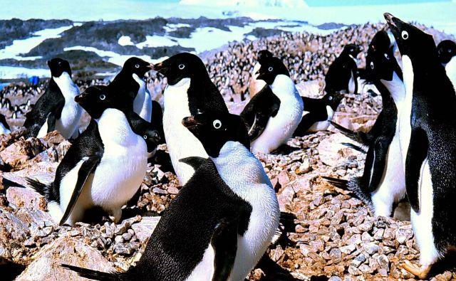Rekordno visoke najnižje in najvišje temperature, ki so jih januarja izmerili na območju Velike Antarktike, bodo po napovedih znanstvenikov dolgoročno škodovale živalim, rastlinam in ekosistemom. FOTO: Roger Atwood/Reuters
