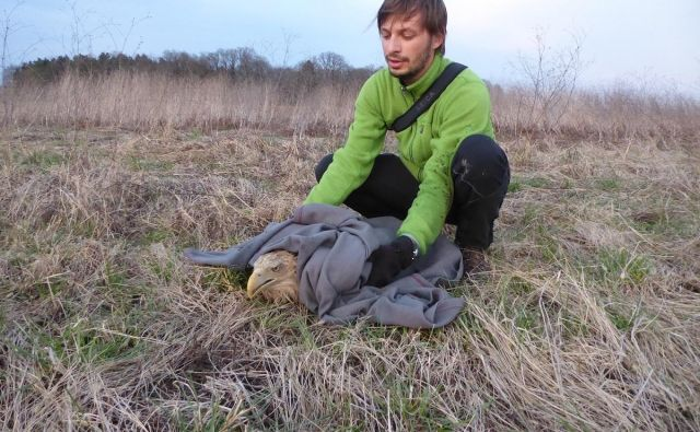 Ornitologi Doppsa so onemogla zastrupljena orla našli v bližini vodnega zadrževalnika Medvedce pri Pragerskem. FOTO: Neža Kocjan/Dopps