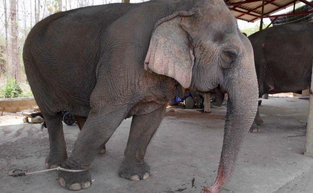 Fotografija, ki jo je te dni javnosti posredovala organizacija za zaščito slonovElephant Nature Park, prikazuje slona v Chiang Maiju. Sloni bi zdaj, ko so meje Tajske za turiste zaprte, lahko stradali. FOTO: Elephant Nature Park/AFP