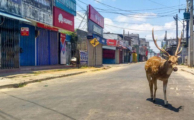 V vseh državah, v katerih so mesta zaradi koronavirusa v karanteni, opažajo, da se po ulicah sprehajajo divje živali.Foto: Afp