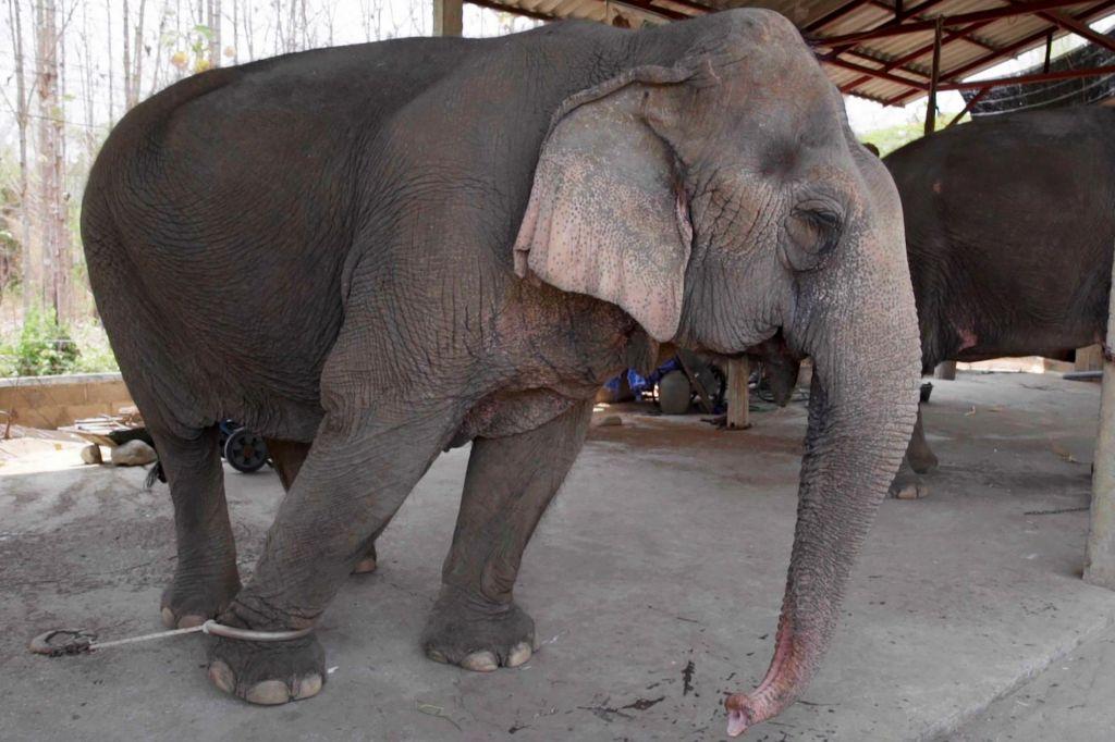 Zaradi upada turistov tajski sloni lačni in v verigah