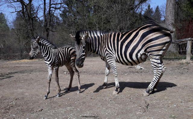 Zebra, ki se je skotila očetu Biliju in mami Srečki, je dobila ime Sanaa, kar v svahiliju pomeni umetnina. FOTO: Robert Prašnikar
