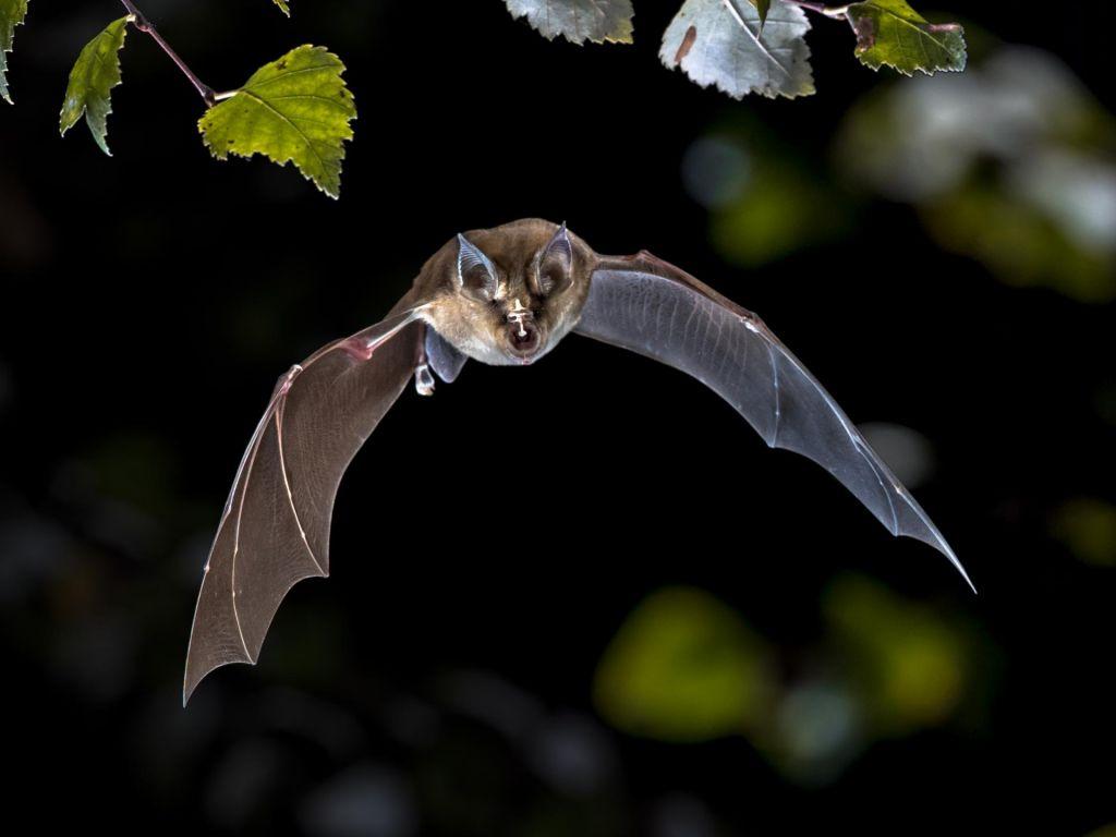 FOTO:Kaj nas netopirji lahko naučijo o virusih