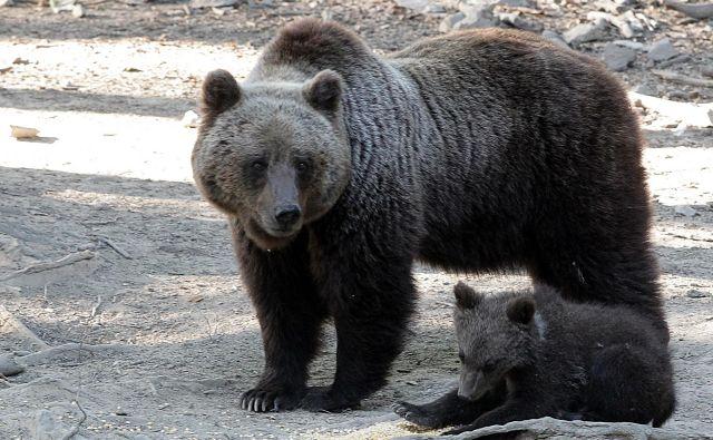 Strokovna izhodišča za upravljanje medveda predvidevajo, da bi populacijo, ki šteje okoli tisoč živali, do leta 2023 enakomerno in postopno z odstrelom zmanjšali na 800 osebkov, kolikor jih je bilo v obdobju 2014-2016. FOTO: Ljubo Vukelič
