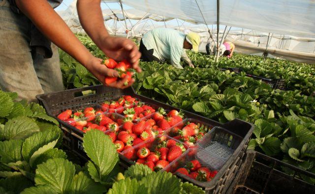 V španski Huelvi so pričakovali 16.000 sezonskih delavcev iz Maroka za obiranje jagod, pred zaprtjem mej je uspelo priti manj kot polovici. FOTO: Jure Eržen