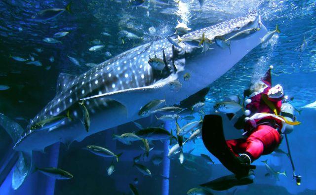 Kitovci so človeku povsem nenevarni, kar dokazuje posnetek iz akvarijav Jokohami. FOTO: Kazuhiro Nogi/AFP