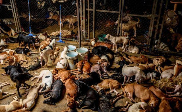 Pogled na prenatrpane kletke v zavetišču za potepuške pse na obrobju Bangkoka, kjer je nastanjenih približno 1500 psov, rešenih iz ulic tajske prestolnice. Donacije hrane in denarja so se od izbruha pandemije močno mestnih zavetiščih močno zmanjšale, zaradi česar večina teh psov hira od lakote. FOTO: Mladen Antonov/Afp