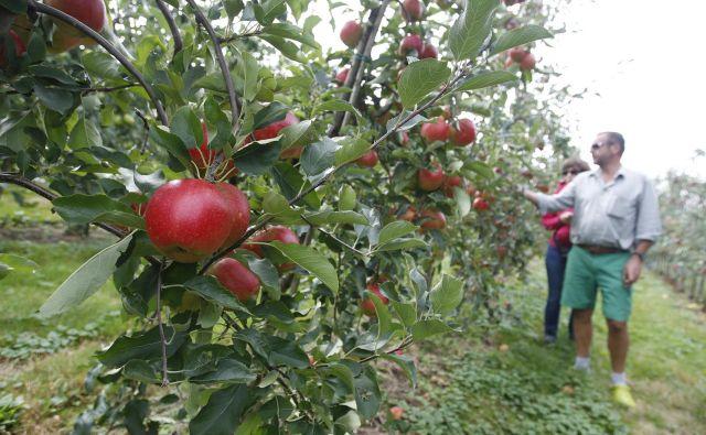 Nasadi jablan so jih še najmanj slabo odnesli. V Posavju ocenjujejo, da je pozeba pri tej vrsti sadja od 50- do 80-odstotna, a da bi bil pridelek po optimističnem scenariju na koncu še vedno lahko soliden. FOTO: Leon Vidic/Delo