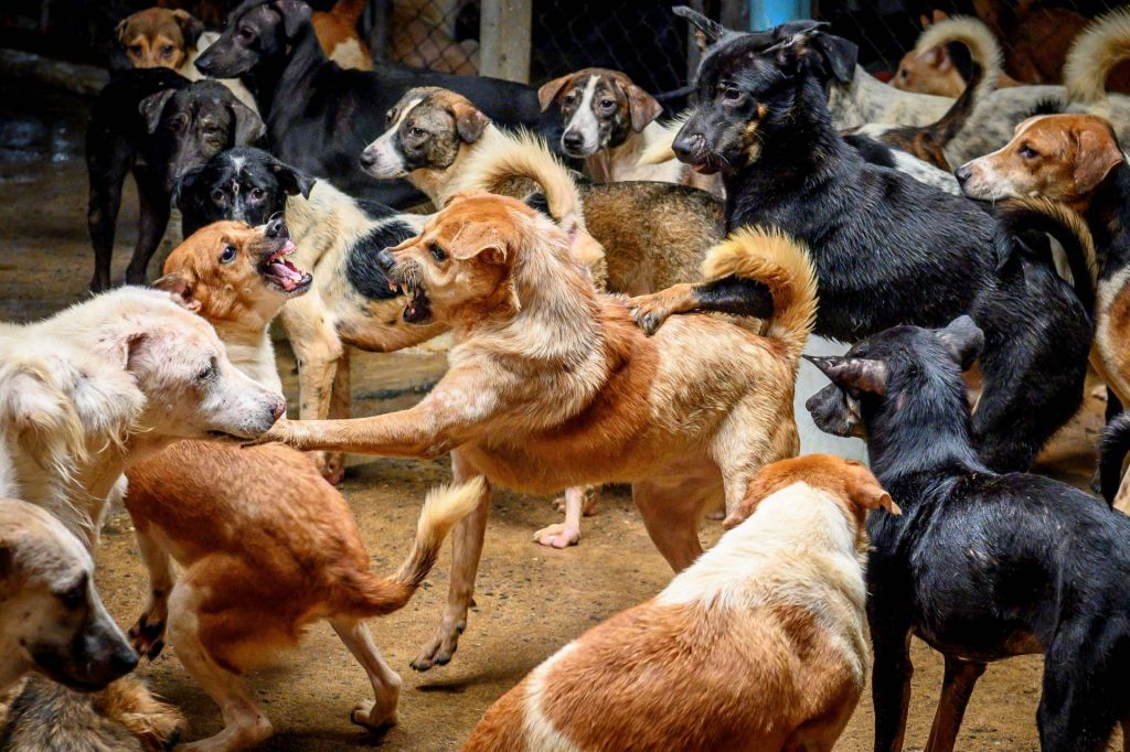 FOTO:Prenatrpano tajsko zavetišče s psi se zaradi pandemije sooča s pomanjkanjem hrane