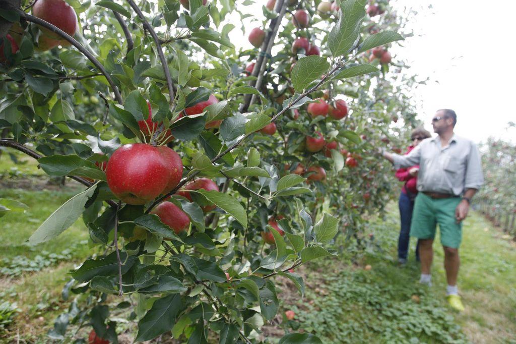 Koščičarji pozebli skoraj v celoti, jablane najmnaj polovično