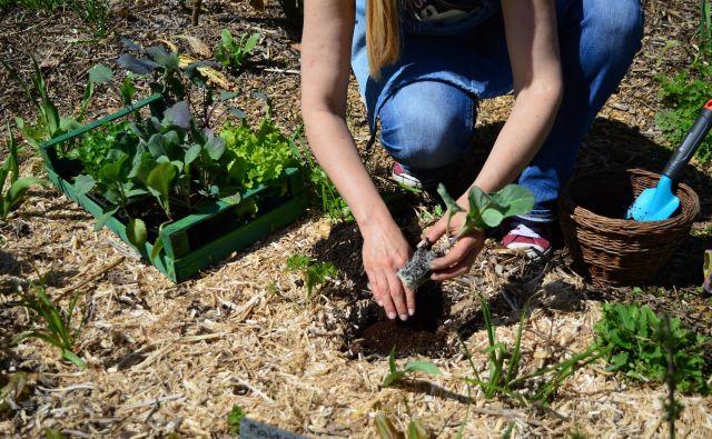 Pri sajenju kapusnic dodamo v sadilno jamico tri pesti komposta. Foto Jerneja Jošar