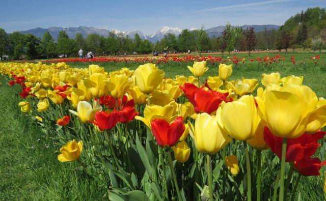Dva milijona tulipanov v Arboretumu bo letos odcvetelo brez občudovalcev. FOTO: Bojan Rajšek