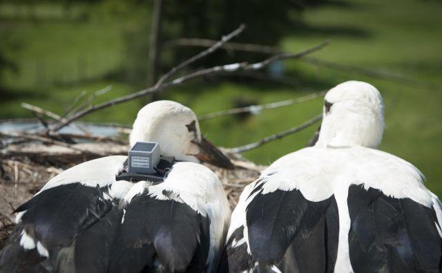 Mladiča Srečka in Belo so ornitologi lani opremili s telemetrijsko napravo za sledenje gibanju. FOTO: Dopps