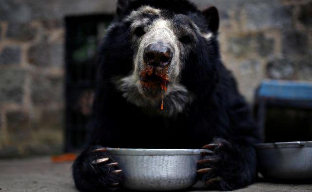 Živali v živalskih vrtovih so zaradi koronakrize vedno bolj lačne. Na sliki medved očalar v živalskem vrtu v Santa Cruzu 8. aprila letos. FOTO: Luisa Gonzalez/Reuters