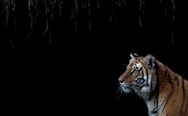 Netflixova dokumentarna serija ne govori o tigrih v ujetništvu, raje prikazuje njihove bizarne lastnike. FOTO: Reuters
