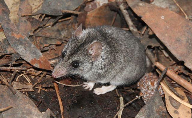 Miši podoben zverski vrečar <em>Sminthopsis aitkeni</em> živi samo na Kengurujskem otoku v Avstraliji in je zaradi gozdnih požarov skoraj izumrl. FOTO: Peter Hammond/Kangaroo Island Land for Wildlife