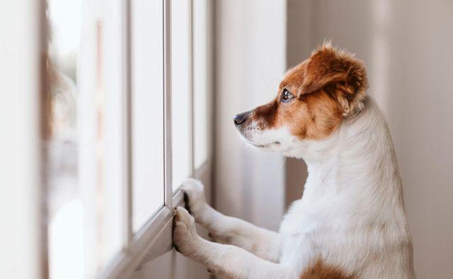 Zaradi ločitvene stiske se bodo psi najbrž lotili kakšnega kosa pohištva ali z neprestanim lajanjem ob živce spravljali sosede. FOTO: Shutterstock