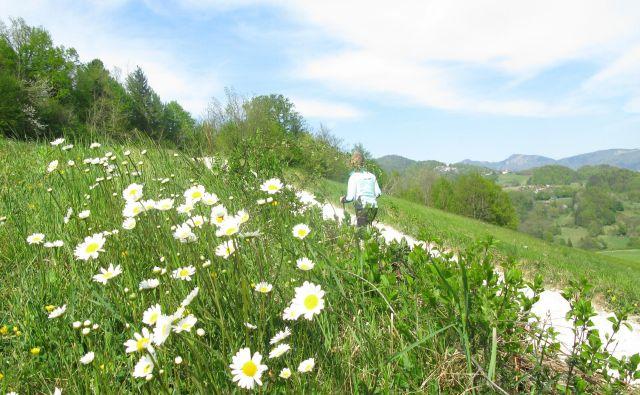 Pot do Vin vodi prek travnikov in gozda. Foto Polona Malovrh