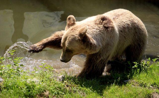 Medvedjo populacijo v okolici Trenta in na Južnem Tirolskem so od leta 1999 dalje v okviru evropskega projekta<em>Life Ursus</em>stabilizirali s pomočjo slovenskih medvedov. FOTO: Roman Šipić/Delo