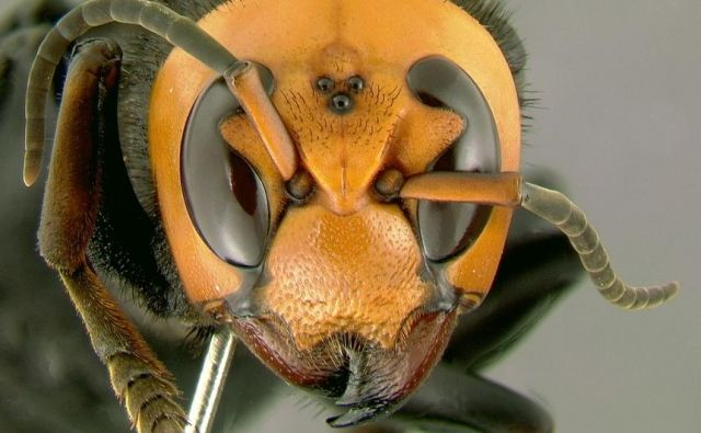 V ZDA je povzročil preplah pojav orjaškega azijskega sršena (na sliki), ki utegne zdesetkati tamkajšnje medonosne čebele. FOTO: Gary Alper/Wikipedia