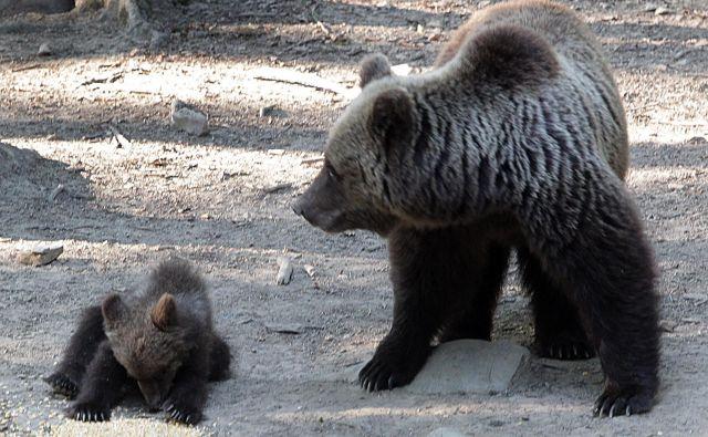 Medvedka z mladičem. FOTO: Ljubo Vukelič/Delo
