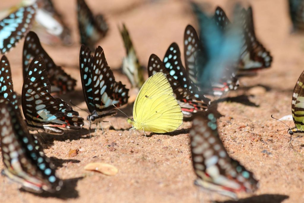 Ada Škerl, Speči metulji