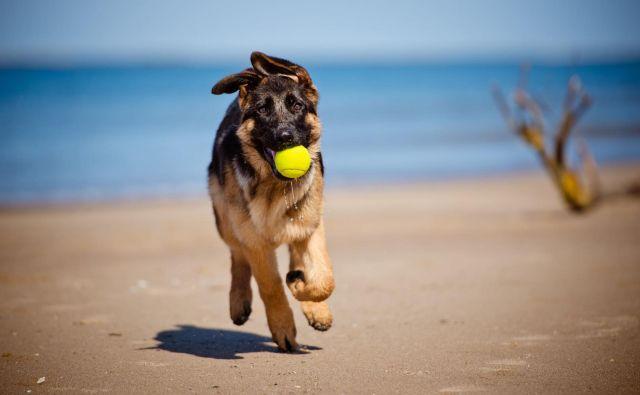 Psi v puberteto vstopijo pri šestih mesecih starosti, traja pa do približno devetih mesecev. FOTO: Shutterstock