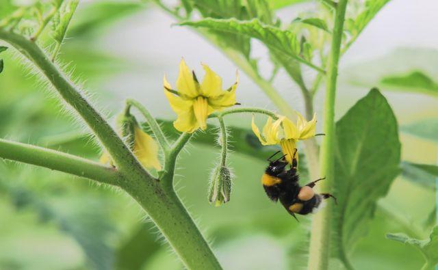 Čmrlji znajo paradižnik prisiliti v hitrejše cvetenje in si tako priskrbijo zgodnejšo pašo. Foto Shutterstock
