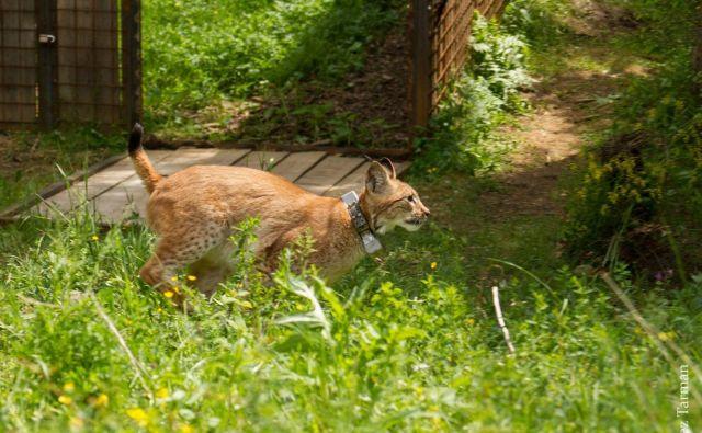 Po Goruju in Katalinu so v naravo izpustili še Borisa. FOTO: Life Lynx