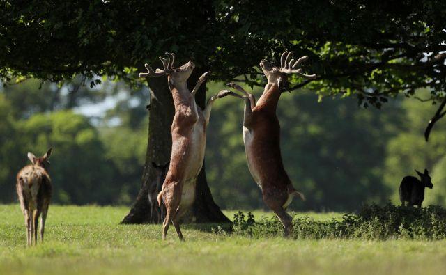 Dvoboj jelenov v bližini angleškega gradu Raby. FOTO: Lee Smith/Reuters