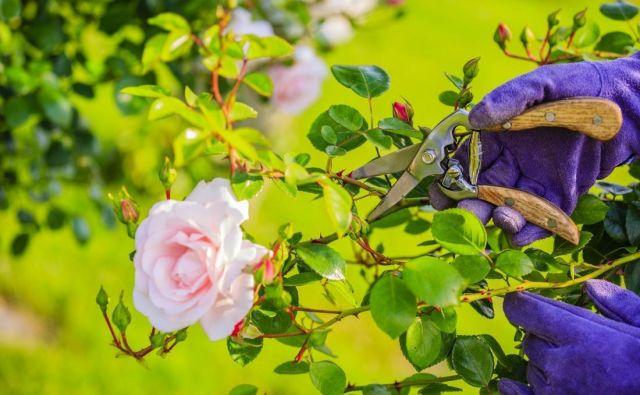 Vrtnicam moramo po prvem zamahu cvetenja nameniti pošteno nego. FOTO: Shutterstock