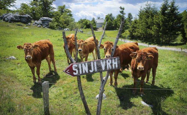 Kar 70 odstotkov kmetijskih zemljišč je namenjenih gojenju hrane za živino. FOTO: Jože Suhadolnik/Delo