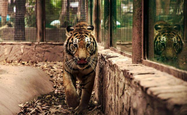 Od sobote je tiger nastanjen v živalskem vrtu v glavnem mestu omenjene zvezne države Madja Pradeš (fotografija je simbolična). FOTO: Rashide Frias/AFP