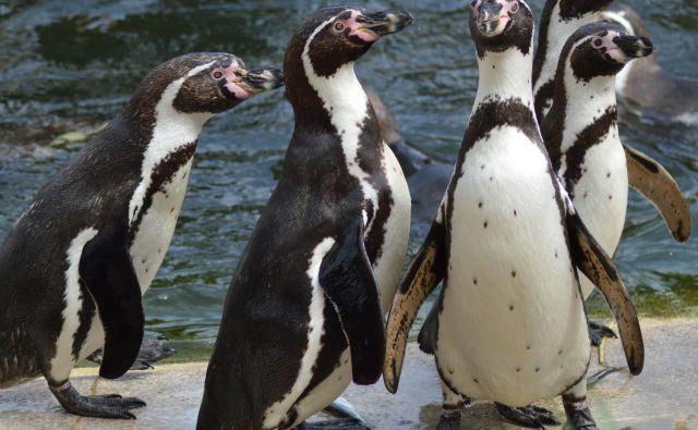 Pingvini iz živalskega vrta v Kansas Cityju so pred dnevi obiskali galerijo Nelson-Atkins Museum of Art. Foto Zzuzu/Shutterstock