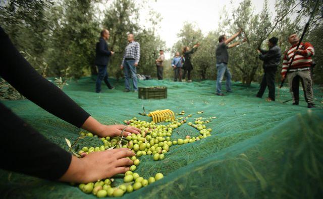 Seznam zdravilnih učinkov kakovostnega oljčnega olja je dolg, varuje tudi pred prostimi radikali in staranjem celic. FOTO: Jure Eržen/Delo