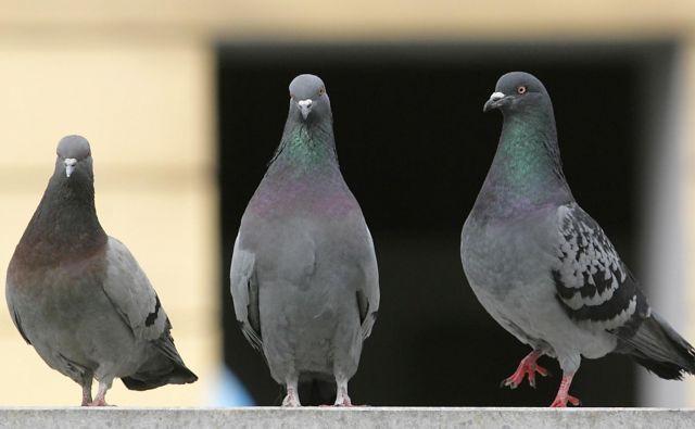 Med letoma 1998 in 2004 so ljubljanske golobe hranili s kontracepcijsko koruzo, s čimer je v Dravljah v treh letih uspelo zmanjšati populacijo kar za 70 odstotkov, potem je postala nesprejemljiva. FOTO: Matej Družnik/Delo