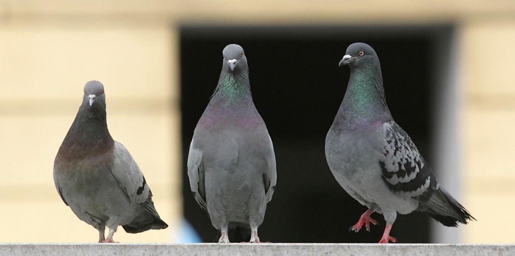 FOTO:Ko na balkonu zagruli golob in si splete gnezdo