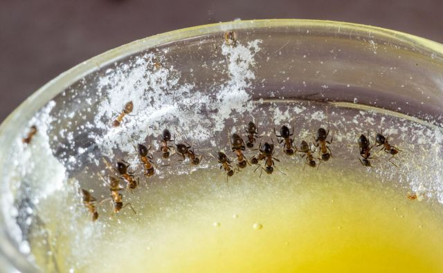 Mravlje so naravni čistilci, a ko jih kot vojake, poravnane v ravno linijo, opazite v svoji kuhinji, vam hitro postane vseeno, kako nujne so za okolje. FOTO: SunnyToys/Shutterstock