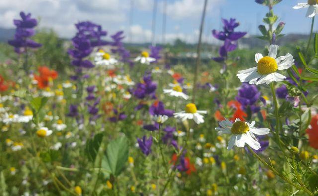 Če komu pojem biodiverziteta nič ne pomeni, naj si predstavlja sebe na pisanem cvetočem travniku. Biodiverziteta je pestrost vsega živega. FOTO: Maja Prijatelj Videmšek
