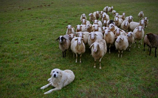 Za izboljšanje sistema varovanja rejnih živali bi morali poskrbeti s sofinanciranjem vzrediteljev pastirskih psov, spremembo načina subvencioniranja pastirskih psov pri rejcih in uvrstitvijo pastirskih psov med delovne. FOTO: Blaž Samec