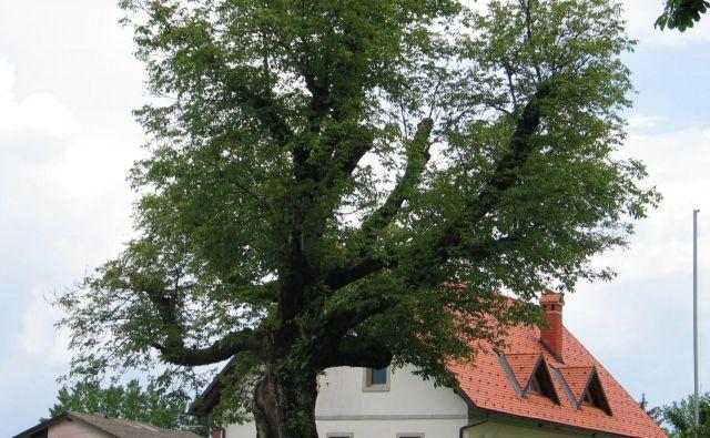 Naši predniki so ob gnojiščih vedno zasadili orehova drevesa (Juglans regia), ki so jih z mogočnimi krošnjami prekrivala s senco in mrčes odganjala s prijetnimi orehovimi taninskimi dišavami. Foto Milan Glavonjič