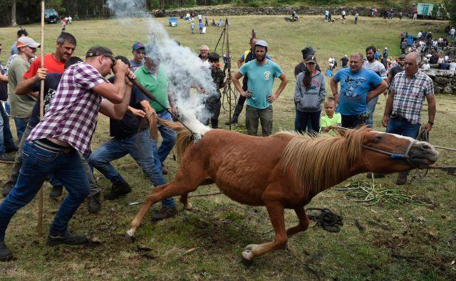 Na tradicionalni prireditvi Rapa Das Bestas (striženje zveri) v španski vasici Mougas zvabijo divje konje, ki se prosto pasejo v bližnjih gorah, v ogrado ter jih ožigosajo. FOTO: Miguel Riopa/Afp