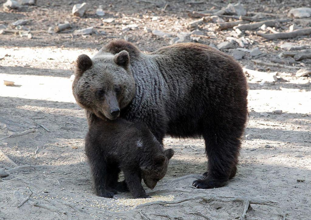 Agencija za okolje izdala dovoljenje za odstrel 115 medvedov
