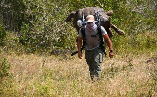 Čuvaj nacionalnega parka na Galapagosu na hrbtu seli na novo lokacijo več kot 100 let staro orjaško želvo po imenu Diego. Diego, ki velja za super samca, saj je svojo vrsto rešil pred izumrtjem, je bil po rojstvu v ujetništvu nekaj desetletij, sedaj pa so ga vrnili na rojstni otok Espanola. FOTO: Afp
