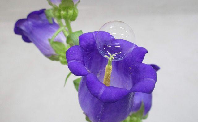 Na cvetu je mehurček iz za rastline nestrupene kemične spojine, s katerim bi lahko opraševali rastline. FOTO:Eidžiro Mijako/AFP
